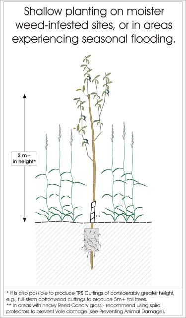 variousplantingdepths- shallow TRSCs (375 x 640)