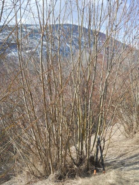 Mar4-13 Scoulers willow Waneta DSCN1104 (480 x 640)